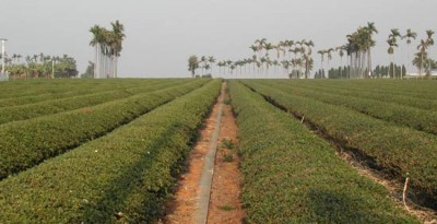 tea-fields-2